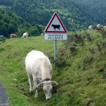 Really? Cows on the road? We had NO idea.